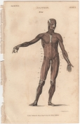 Anatomy, London Encyclopedia, Vol. 2, Plate 3