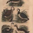 Anseres, London Encyclopedia, Vol. 2 Plate 2