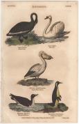 Anseres, London Encyclopedia, Vol. 2 Plate 3