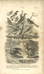 Aves, Plate 6, British Encyclopedia, Vol 3, 1809