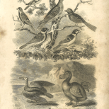 Aves, Plate 6, British Encyclopedia, Vol 3, 1809