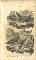 Aves, Plate 7, British Encyclopedia, Vol 3, 1809