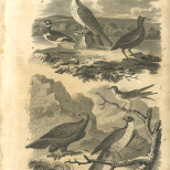 Aves, Plate 7, British Encyclopedia, Vol 3, 1809