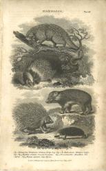 Mammalia, Plate 12, British Encyclopedia, Vol 3, 1809