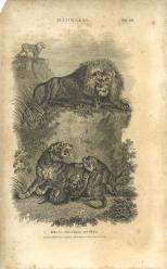 Mammalia, Plate 13, British Encyclopedia, Vol 3, 1809