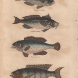 Pisces, Plate 2-1, London Encyclopaedia, Vol. 17, 1829
