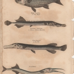 Pisces, Plate 3-1, London Encyclopaedia, Vol. 17, 1829