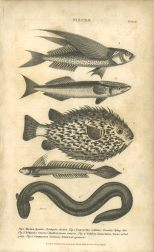 Pisces, Plate 4, British Encyclopedia, Vol 3, 1809